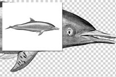 Whales: 1151 Rough-toothed Dolphin By Enliven Designs