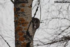 Lapinpöllö Owls, Owl, Tawny Owl