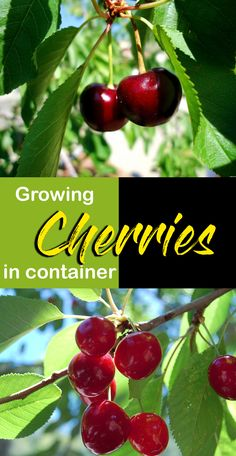 Growing Cherry plant in containers, How to Grow cherry plant, Cherry care. you can successfully plant the dwarf species of cherries to the container. Cherry Tree From Seed, Dwarf Cherry Tree, Growing Cherry Trees, Cherry Plant, Dwarf Fruit Trees, Fruit Plants, Fruit Garden, Growing Tree, Herbs Garden
