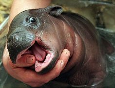 ok, so it's not furry, but this is definitely the only cute hippo i've seen in my entire life ahh!