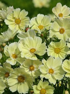 Xanthos Cosmos. 2 1/2 inch single flowers on uniformly compact, 24 inch tall by 16 inch wide plants. Flowers throughout the warm season.
