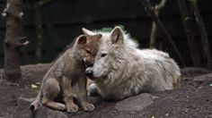 No to the hunting of wolves in France!