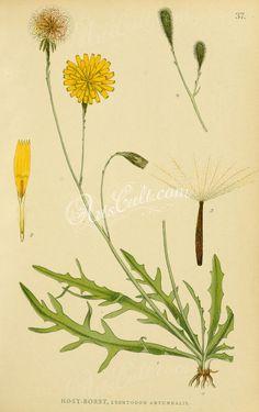 leontodon autumnalis   ...