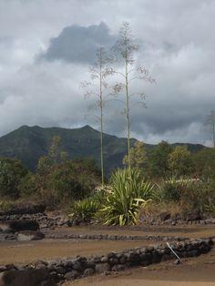 Aloes - Mauritius