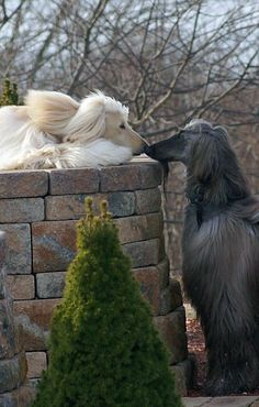 best images, photos and pictures ideas about afghan hound dog - oldest dog breeds Beautiful Dogs, Animals Beautiful, Cute Animals, Amazing Dogs, I Love Dogs, Cute Dogs, Hound Dog Breeds, Cockerspaniel, Tier Fotos