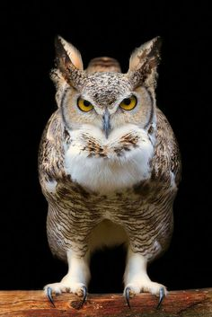 Great Horned Owl by Marcus Pusch.