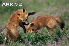 Red fox cubs playing in meadow © Shattil & Rozinski / naturepl.com