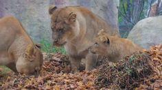 Cub lion play time