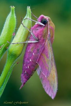 """Pink Elephant"" by Leonid Fedyantsev Deilephila elpenor, known as the Elephant Hawk-moth, is a large moth of the Sphingidae family. Beautiful Bugs, Beautiful Butterflies, Amazing Nature, Beautiful Creatures, Animals Beautiful, Cool Bugs, Moth Caterpillar, Hawk Moth, Fotografia Macro"