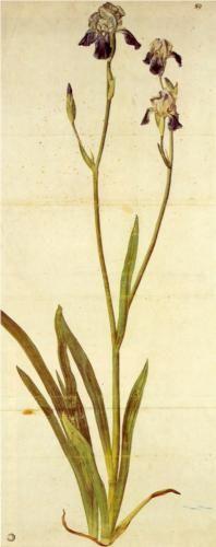 Iris - Albrecht Durer