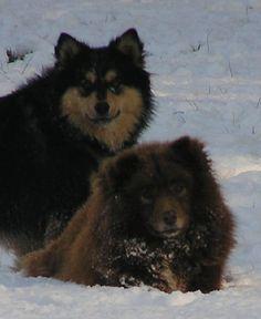 Izza and Cara - Finnish Lapphund - Wikipedia, the free encyclopedia