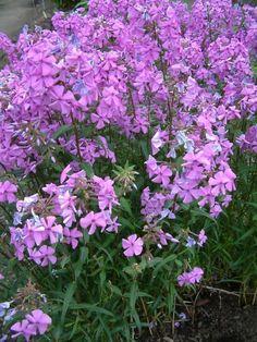 Plant form: Phlox maculata. ~ By Louis-M. Landry. ~ Copyright © 2015 Louis-M. Landry. ~ LM.Landry[at]videotron.ca  ~ CalPhotos - calphotos.berkeley.edu/flora/