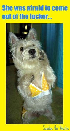 Sundae the Westie in her yellow polka dot bikini