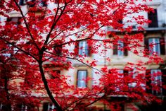 fugacious red by photr, via Flickr  Fall Sweetgum tree