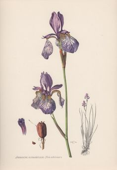 1954 Siberian Iris Vintage Botanical Print by Craftissimo on Etsy