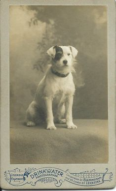 c.1890 cdv of scruffy white terrier with black patch over his right eye. Photo by Drinkwater of Birmingham and Leicester. From bendale collection
