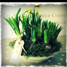 Vintage bowl of Spring bulbs for Mother's Day.