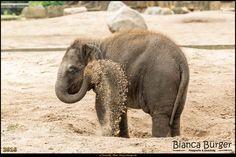 Tierpark Berlin - Elefant beim Sandbad