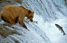 This Brown Bear standing on top of Brooks Falls, Katmai National Park in Alaska