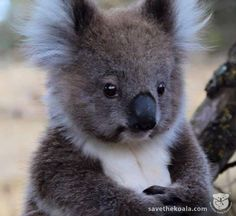 Young Koala - too cute!!