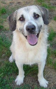Comet Dog • Airedale Terrier & Irish Wolfhound Mix • Adult • Male • Large Orphan Annie Rescue Tucker, GA  I am a very sweet and handsome boy. I am about 5 years old I need another dog in my forever home.  https://www.petfinder.com/petdetail/22688804/