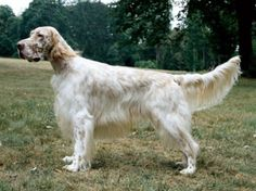 English Setter ~ (Orange Belton)