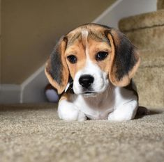 Are you interested in a Beagle? Well, the Beagle is one of the few popular dogs that will adapt much faster to any home. Whether you have a large family, p Dog Training Methods, Basic Dog Training, Dog Training Techniques, Training Dogs, Art Beagle, Beagle Puppy, Sweet Dogs, Cute Dogs, Puppy Obedience Training