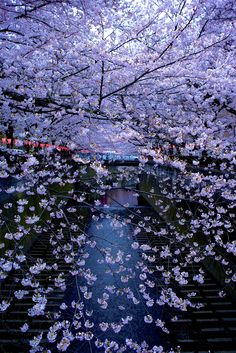 Meguro river  #1  Tokyo Nature Pictures, Beautiful Pictures, Cherry Blossoms, Tokyo, Scenery, Japanese, River, Eyes, Spring