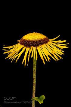 one little sunflower by pinarelloherbert. @go4fotos