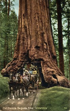 Redwood Sequoia tree forest in CA