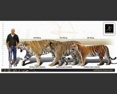 http://prehistoric-fauna.com/image/cache/data/size/Panthera-tigris-soloensis-size-738x591.jpg
