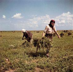 Capa: UKRAINE. near Kiev, 1947. Women working on the Shevchenko collective farm.