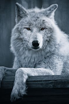 Polar Wolf © Georg Haaser