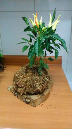planta de ají