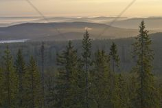 Skuleskogen National Park Spruces, Sweden - Fotobehang & Behang - Photowall