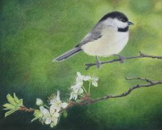 Colored pencil chickadee on pear