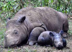 Relaxing rhinos.