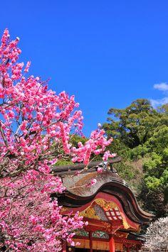 Plum blossoms in Dazaifu Tenmangu, Fukuoka, Japan。太宰府天満宮。福岡県。 Beautiful Places To Visit, Beautiful World, Great Places, Places To See, Cool Photos, Beautiful Pictures, Japanese Beauty, Japanese Style, Fukuoka Japan