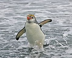... whilst New Zealand and the Subantarctic Islands harbour a rich variety of seabirds such as this Royal Penguin (Pete Morris)
