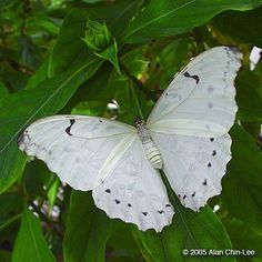 Types of Butterflies Names - 25 Most Colorful Butterfly Species Pictures Butterfly Kisses, White Butterfly, Butterfly Flowers, Morpho Butterfly, Blue Morpho, Types Of Butterflies, Flying Flowers, Beautiful Bugs, Beautiful Butterflies