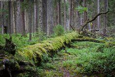 Kaatunut puuvanhus - kansallispuisto Pyhä-Häkki Finland