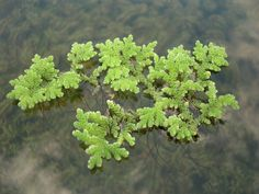 Azolla (mosquito fern, duckweed fern, fairy moss, water fern) is a genus of seven species of aquatic ferns in the family Salvinia (an invasive species). Please use only in containers, they will also take over your pond. www.ContainerWaterGardens.net