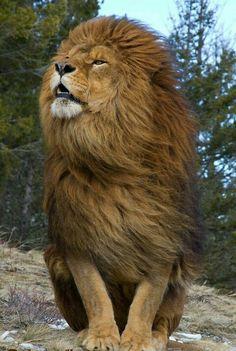 Az állatok királya!