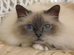 """The Birman is a domestic cat breed, also called the """"Sacred Cat of Burma"""".  The Birman has medium-long hair, a pale colored body and darker points with deep blue eyes. Even though the cat is pointed, the paws have white gloves."""