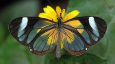 Las 12 Mariposas más Fascinantes del Mundo