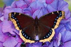 Darrel Gulin Photography | Gallery | Butterflies I Mourning Cloak Butterfly