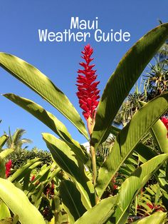What's the weather like on Maui? We'll cover all the important weather questions to help you get to know this amazing Hawaiian island. Maui Temperatures The following chart shows the average monthly high and low temperatures. The data was collected from the airport in Kahului (OGG) which is...