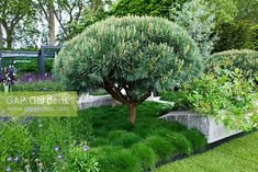 Clipped Pinus sylvestris 'Watereri' underplanted with grasses - The Daily Telegraph Garden, sponsored