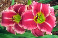 Daylily, Hemerocallis 'Mary Alice Stokes' (Hansen, 2001)
