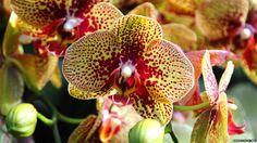 orquidea phalaenopsis - Buscar con Google